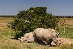 Najin and Fatu, the last female northern white rhinos in Ol Pejeta Conservancy in Kenya.