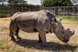 Sudan, the last male northern white rhino in the world in Ol Pejeta Conservancy in Kenya in February 2016.