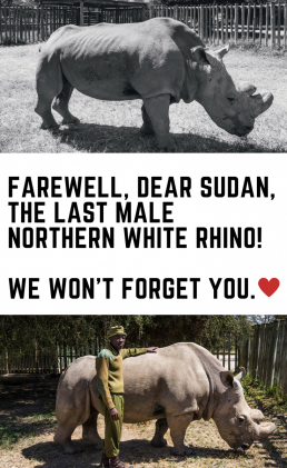 Sudan was an icon for the conservation world, and he also had a huge, positive impact on the conservation efforts for many species than just the rhinos.