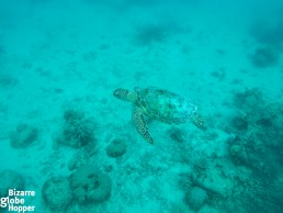 Snorkeling with turtles in the shallow waters of Lankayan Island, Borneo
