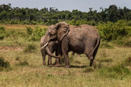 Elephants in the Masai Mara National Park in Kenya.