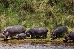 A pack of hippos in Masai Mara, Kenya.