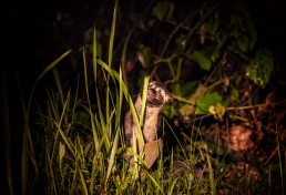 Baby civet cat looks at our night safari jeep behind grass in Danum Valley
