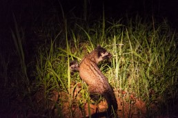 Civet cat with a baby in Danum Valley, Borneo
