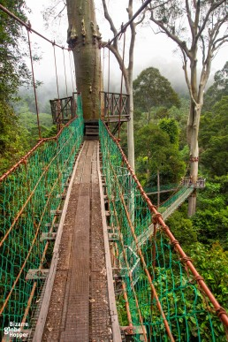 World-famous canopy walkway in Danum Valley: the longest canopy walk in Malaysian Borneo.