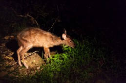 Sambar deer in the dark inside Danum Valley, Borneo