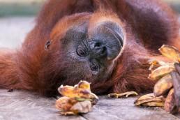 Orangutan eating bananas in Semenggoh Orangutan Rehabilitation Center-borneo-malaysia