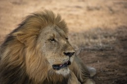 Handsome lion in Kruger National Park, South Africa
