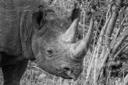 Black rhino male in Balule Nature Reserve, South Africa