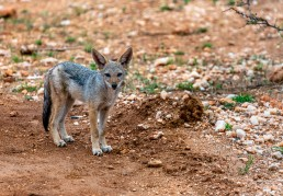 Jackal pup in Balule Nature Reserve, South Africa