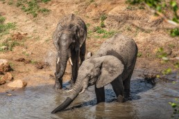 Young elephants having a bath in Kruger National Park, South Africa