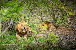 Lion brothers in Kruger National Park, South Africa