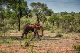 Wild elephant bull in its natural habitat in Kruger National Park, South Africa