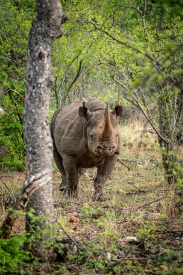 Black rhino in Balule Game Reserve, Greater Kruger National Park