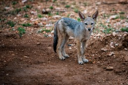 Visit Balule Nature Reserve in December to see jackal pups and other baby animals