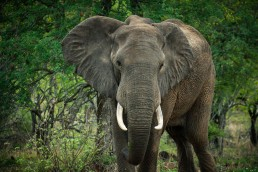 Elephant in Balule Nature Reserve, off-the-beaten-path private reserve within Greater Kruger National Park, South Africa