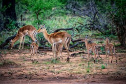 Walking safaris in Greater Kruger National Park show wildlife from another perspective