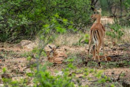 Impala babies in Balule Nature Reserve, South Africa