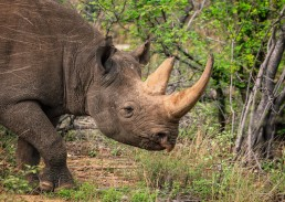 Beautiful black rhino in Balule Nature Reserve, South Africa