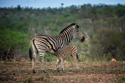 Zebra with a foal in Balule Nature Reserve, Greater Kruger National Park