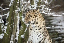 Amur leopard in snow in Korkeasaari zoo