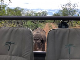 Close rhino encounter in Greater Kruger National Park with Sausage Tree Safari Camp
