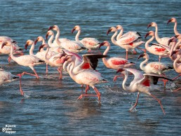 See flamingos in Walvis Bay Lagoon near Swakopmund, Namibia